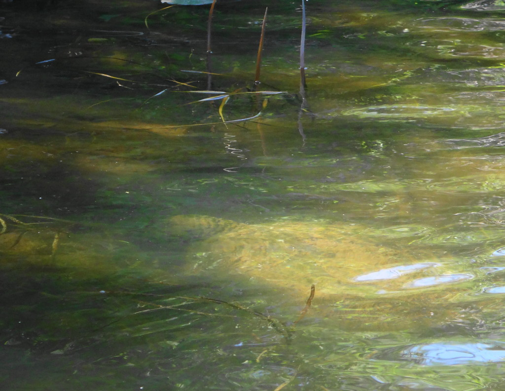 The vague shape of a large snapping turtle can be seen under the water.