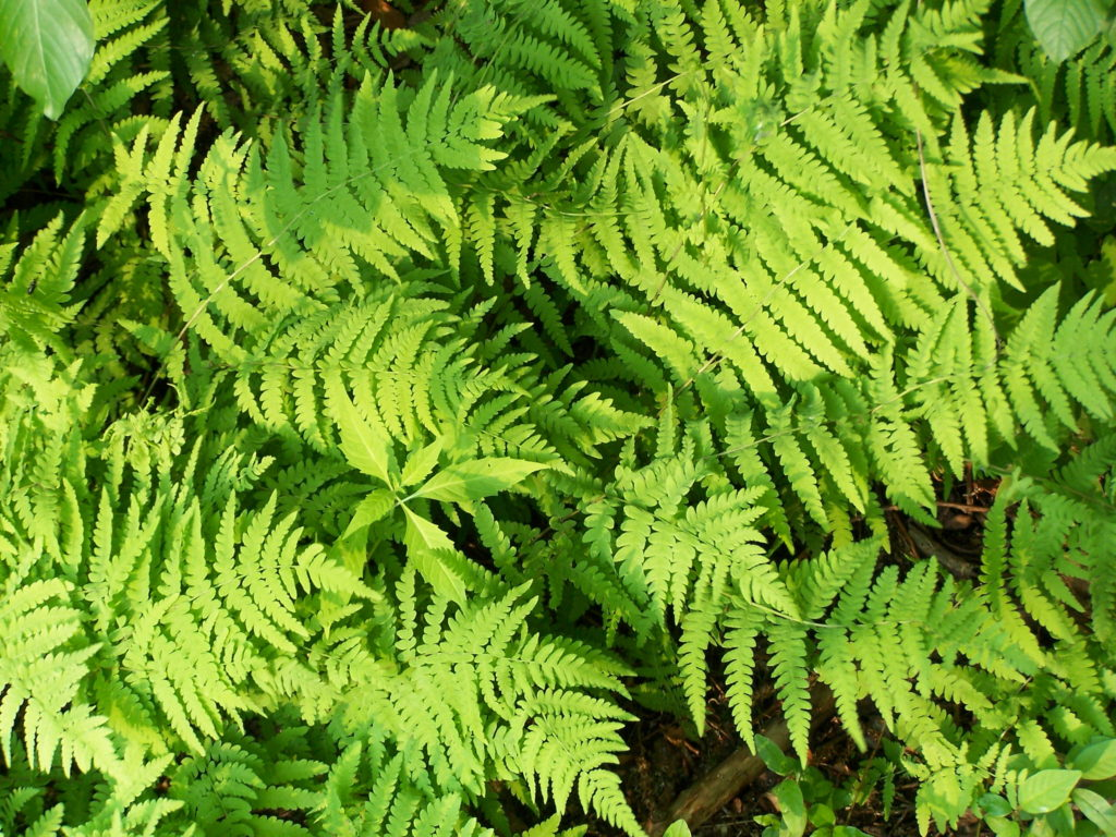 A dense bed of ferns shines bright green in the sun.