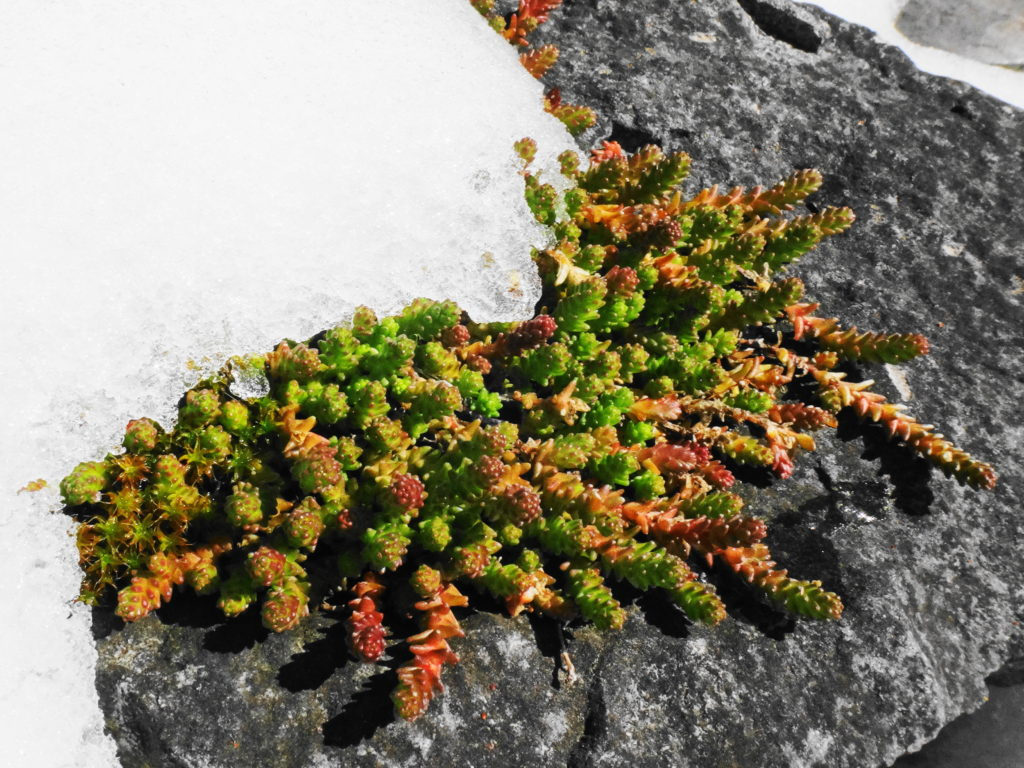 Moss on a grey stone emerges from snow.