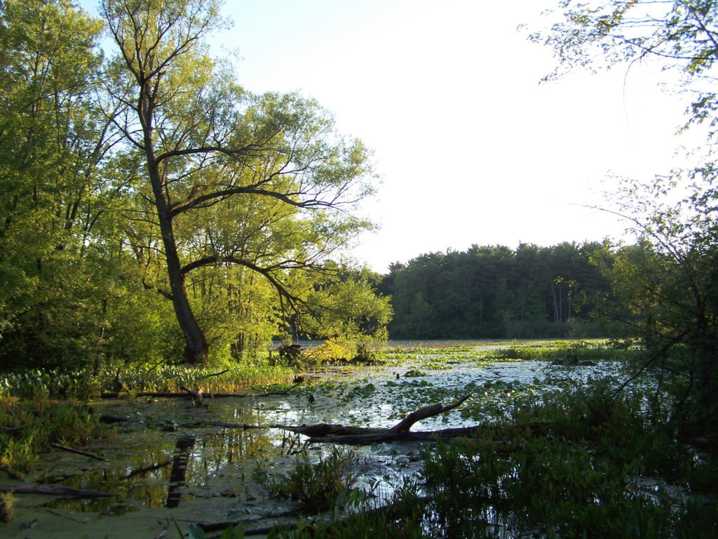 A quiet back bay of lilypads and shoreline trees at Mud Lake.