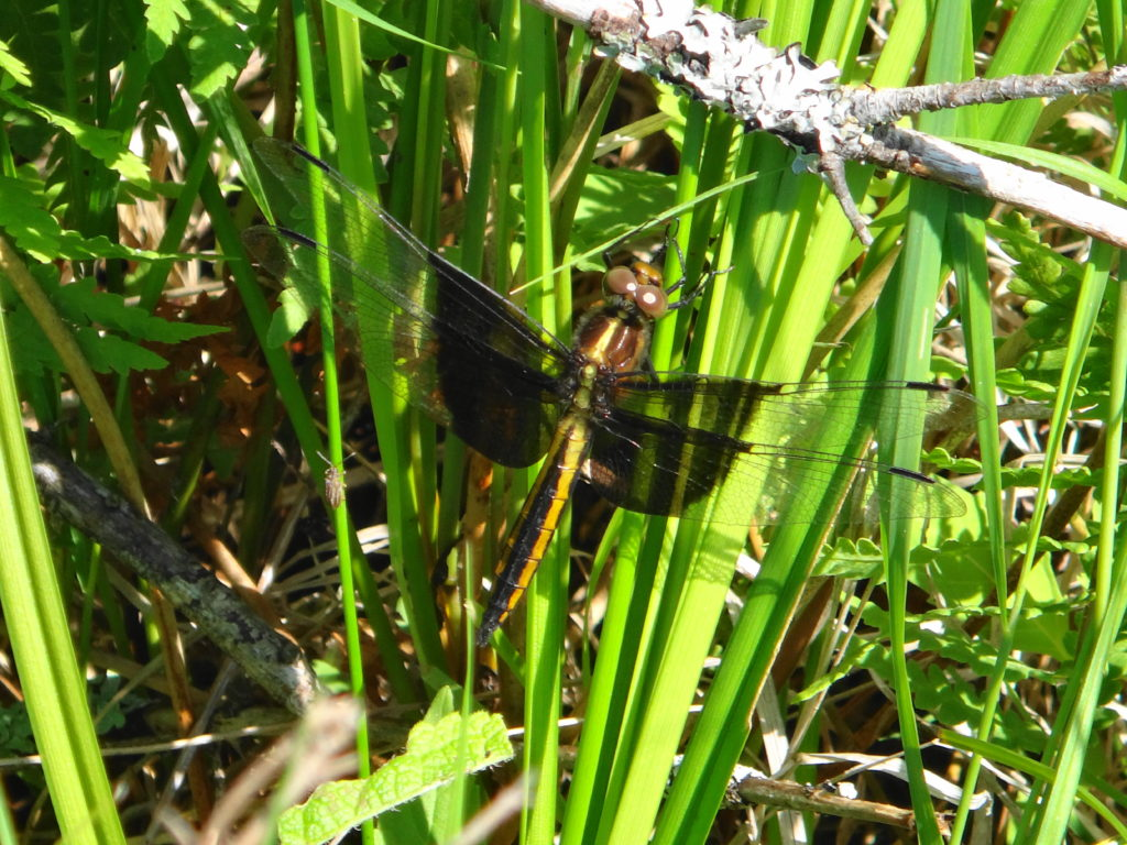 A widow skimmer dragonfly clings to a reed.