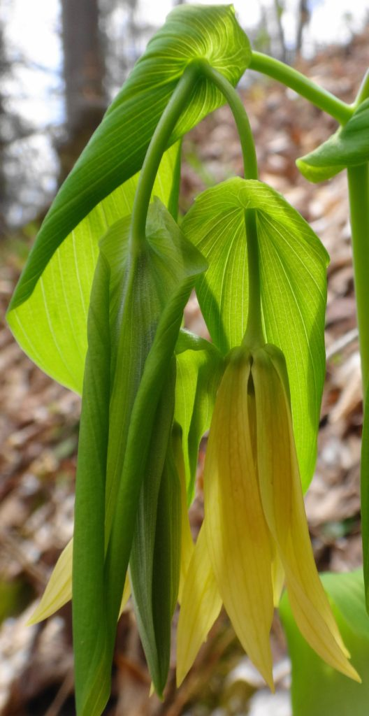 The yellow bloom of large flowered bellwort droops from its limp leaves.