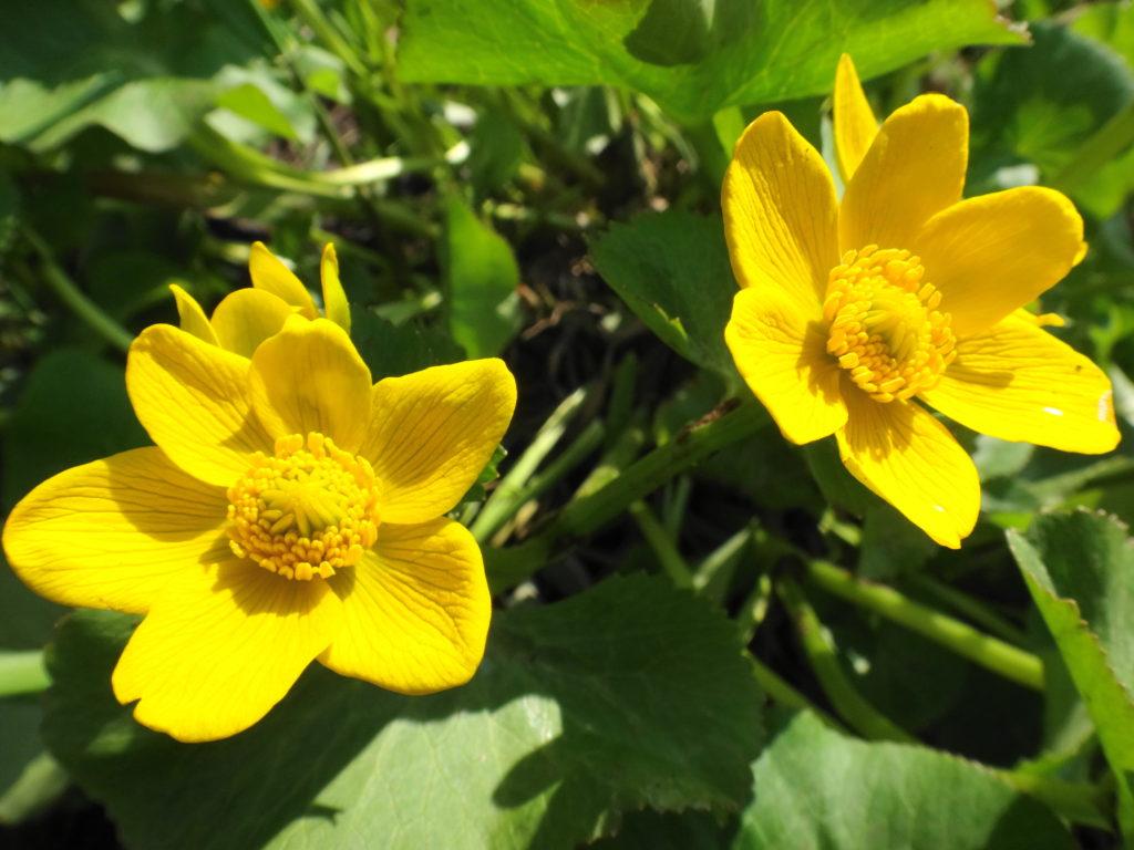 Yellow marsh marigolds bloom beside Upper Poole Creek.