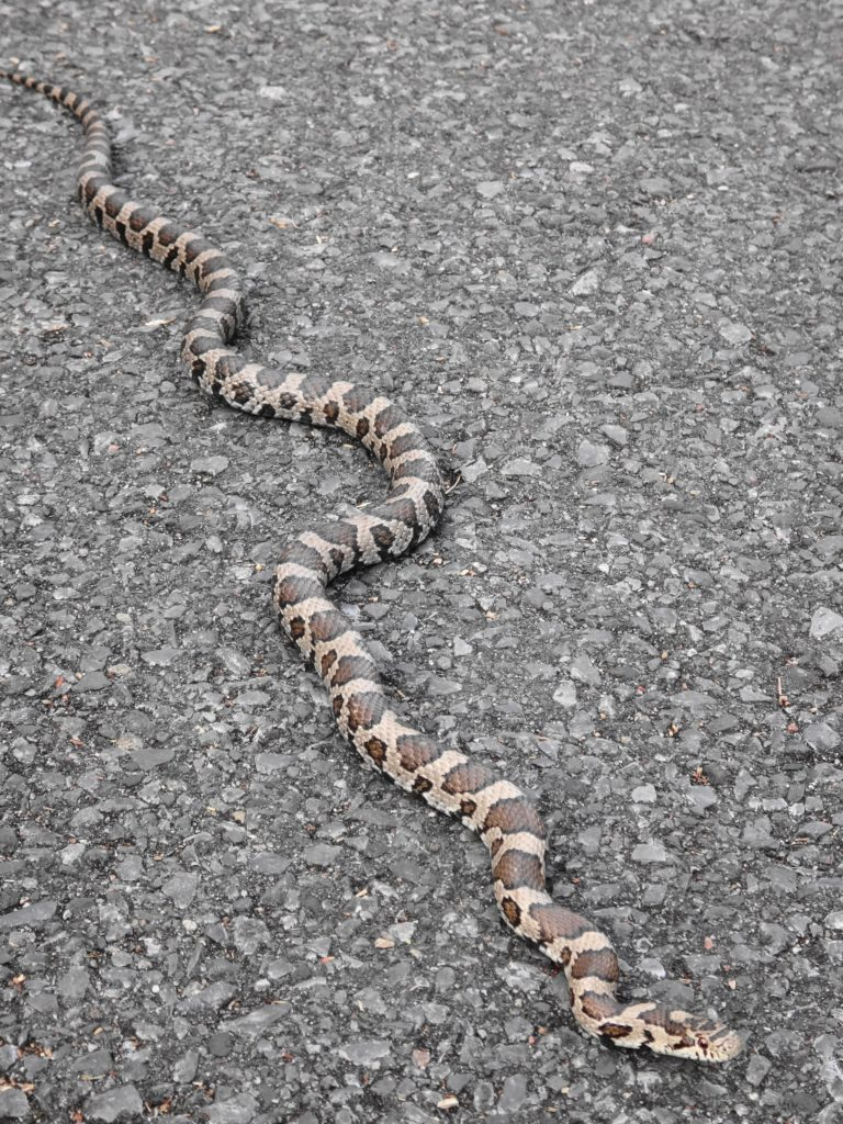 An adult milk snake warms itself on the pavement of a bicycle path.