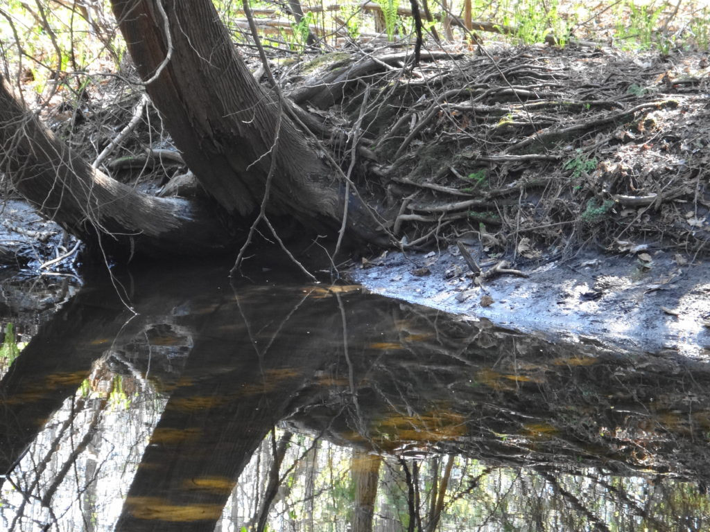 A cedar tree leans over the still surface of small creek pool.