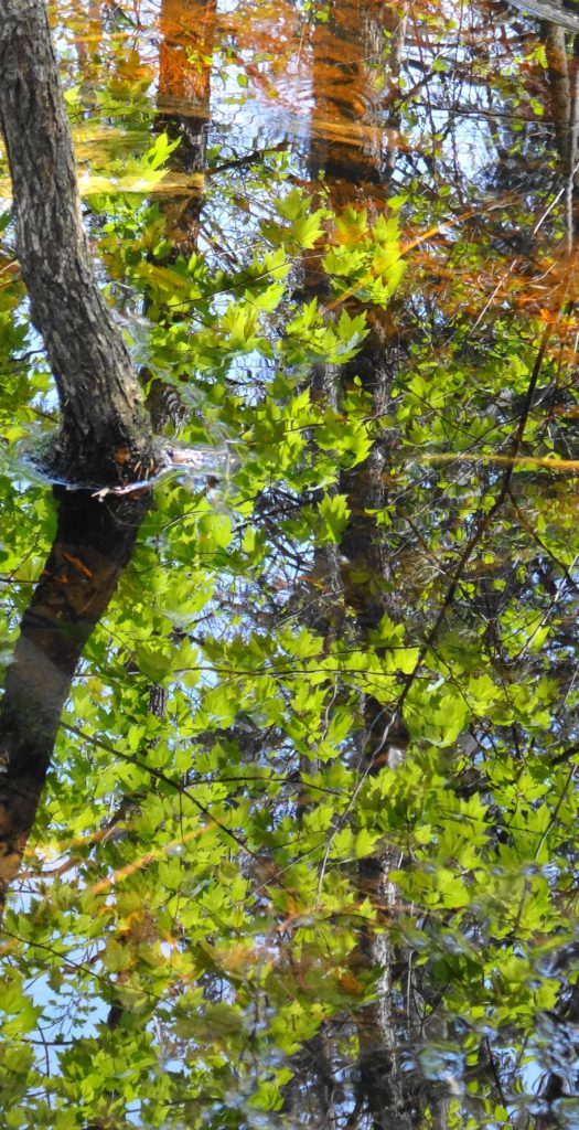 Bright green leaves reflect in the water of a swamp in Chapman Mills West.