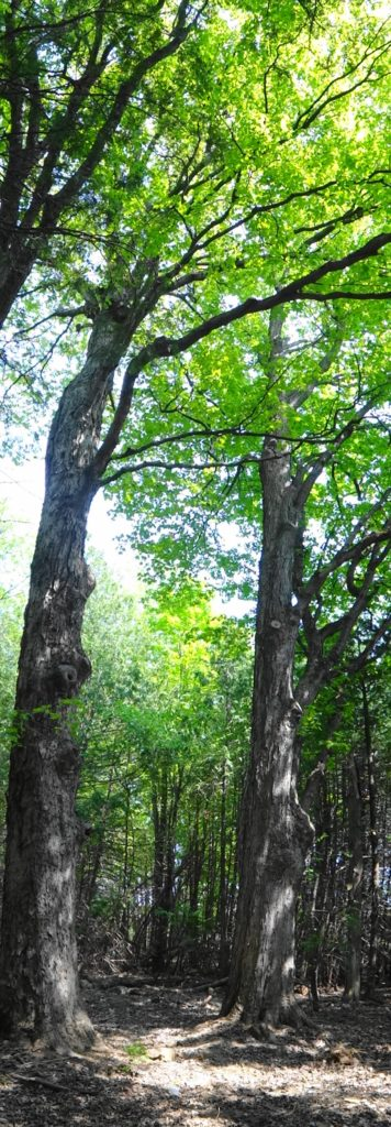 Two massive maples trees rise from the forest floor in the Chapman Mills West Woodlot.