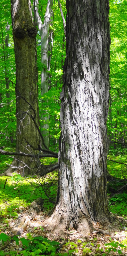 The thick trunks of two maples and a beech rise from the forest floor.