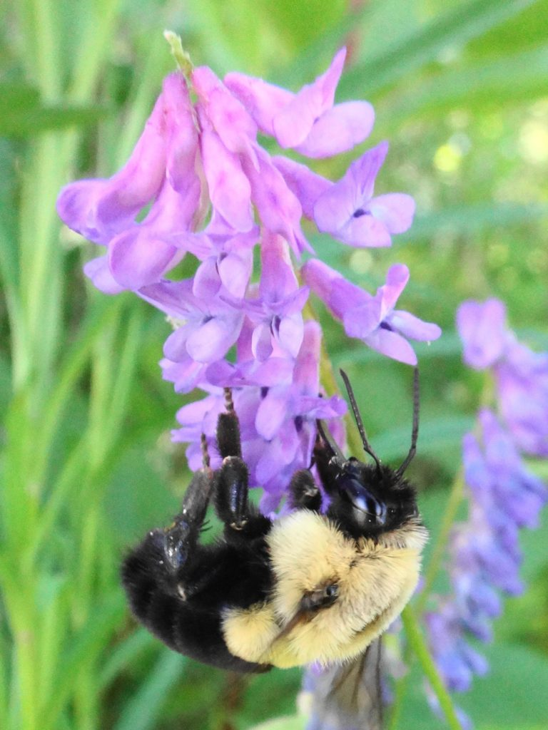 A bumblebee feeds on purple clover