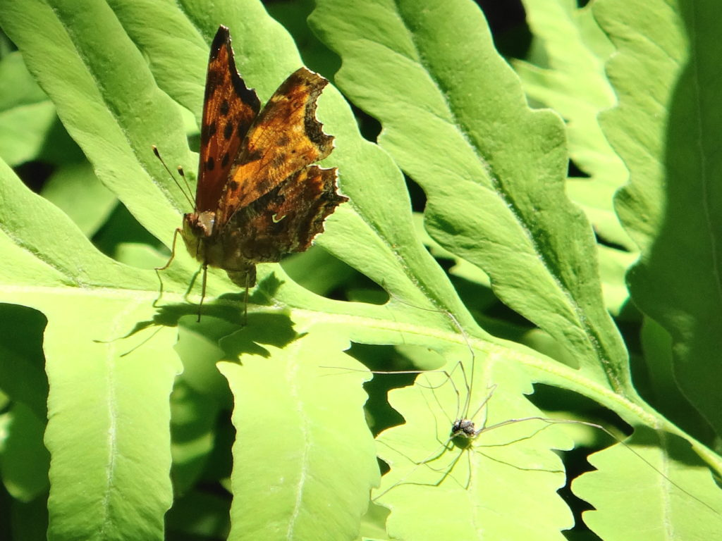 An eastern comma and a daddy longlegs sit on a sensitive fern leaf at the Rockwood School swamp in Pembroke
