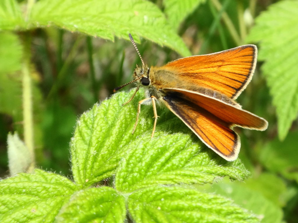 A European skipper rests on raspberry leaves in a clearing in Deep River