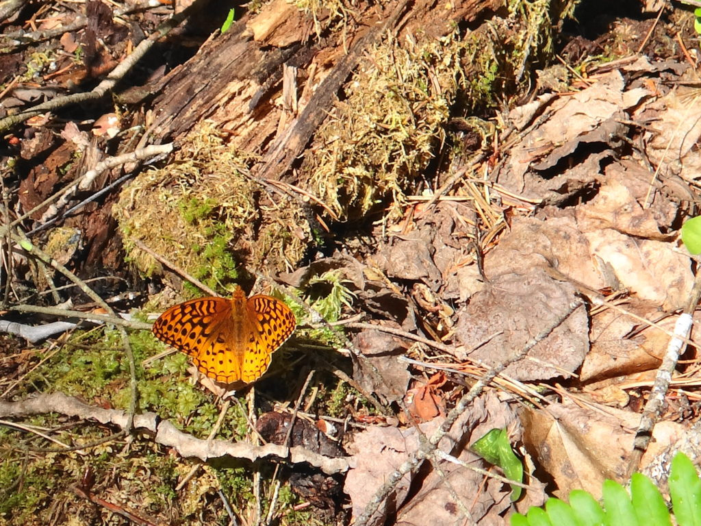 A great spangled frittary suns itself on the forest floor in Deep River