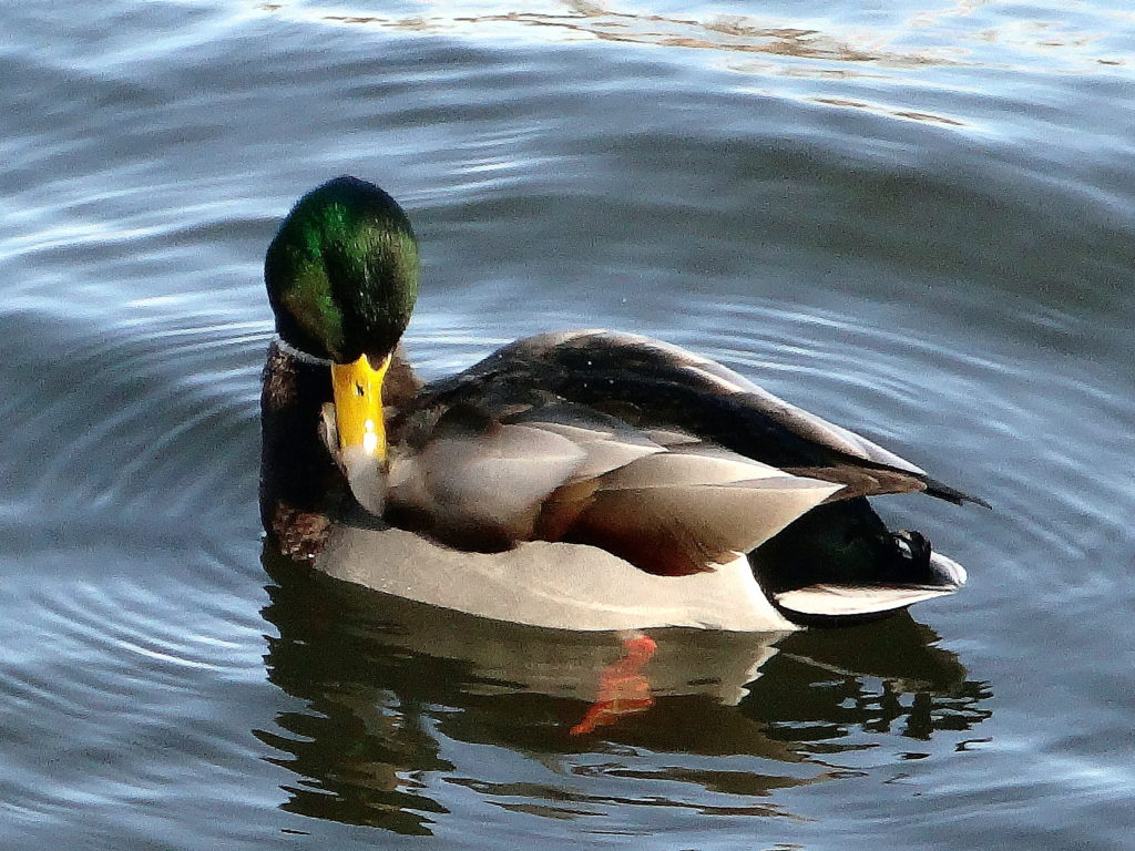 A mallard drake preens himself on the Rideau River
