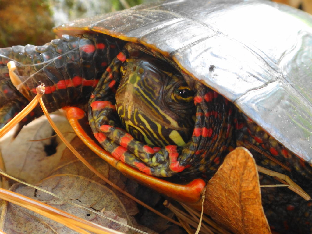 A close-up photograph of the head of a basking painted turtle in Frontenac Park