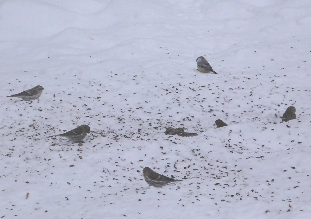Redpolls feed on spilled seed on the snow below a feeder in Gatineau Park
