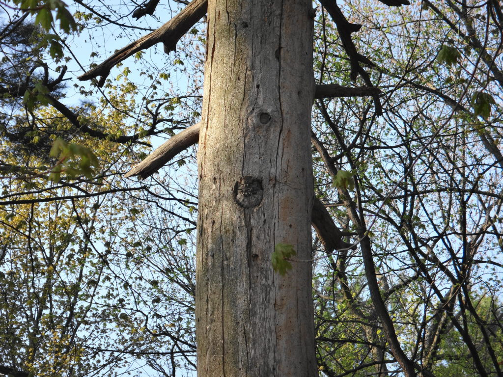 A screech owl basks in the early morning sun in the entrance of its nest in an old snag
