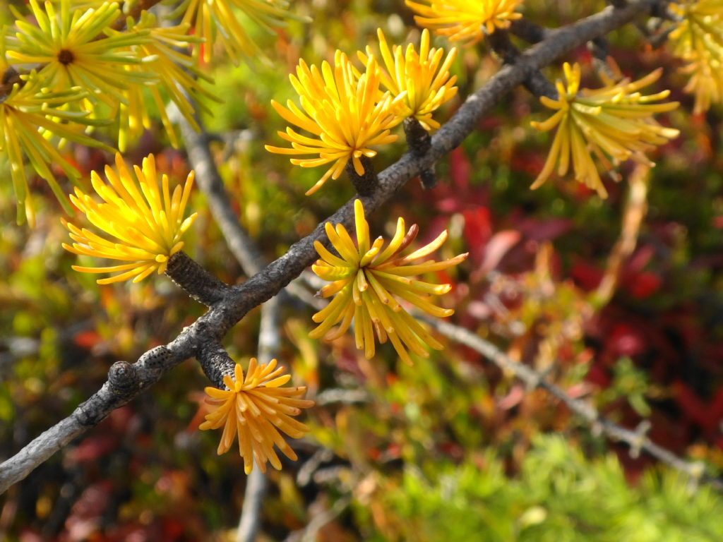 Small clusters of yellow tamarack needles grow from a twig.