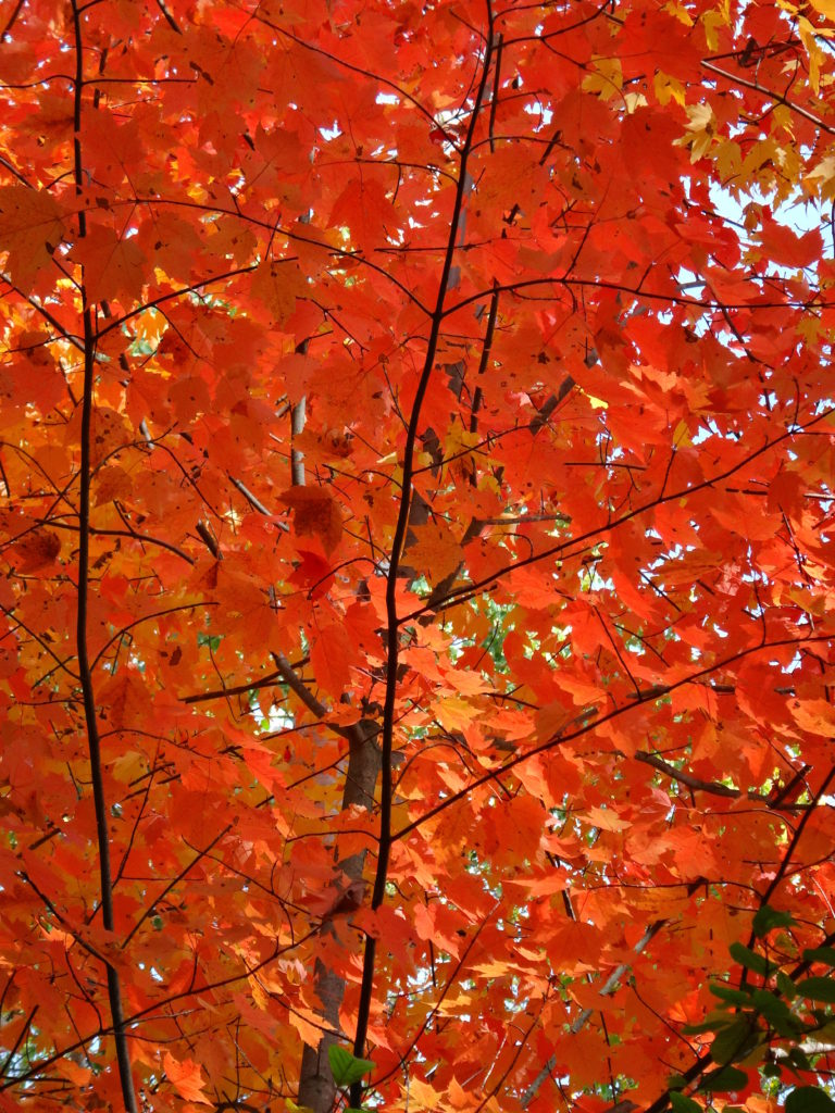 Brilliant red maple leaves fill the photograph.