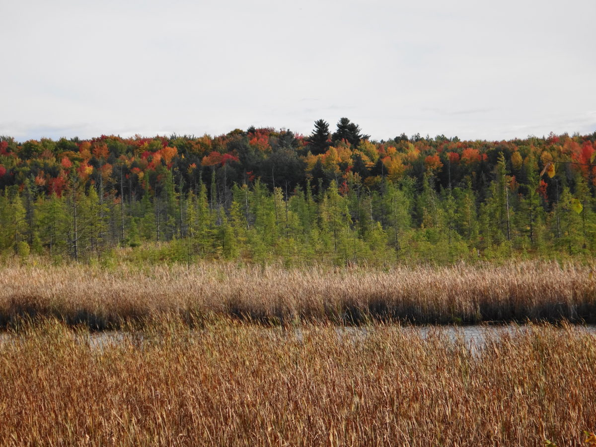 A photography across the Mer Bleue wetland shows all of the important vegetation communities: cattail marsh, open water lagg, bog, and forested ridge.