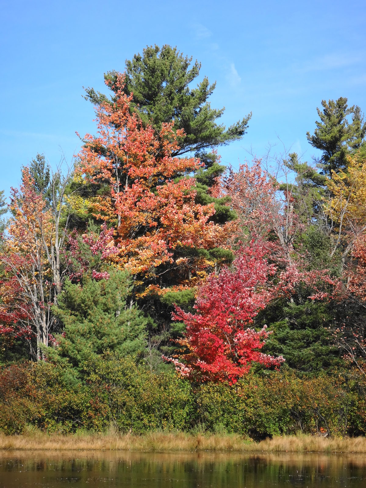 Red maple trees blaze across a wetland.