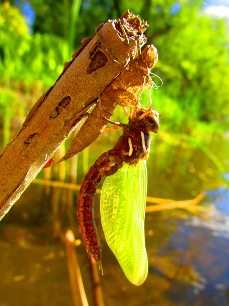 A newly hatched dragonfly dries its wings on a reed.