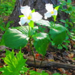 Two tall, white trilliums bloom beside a tree trunk.