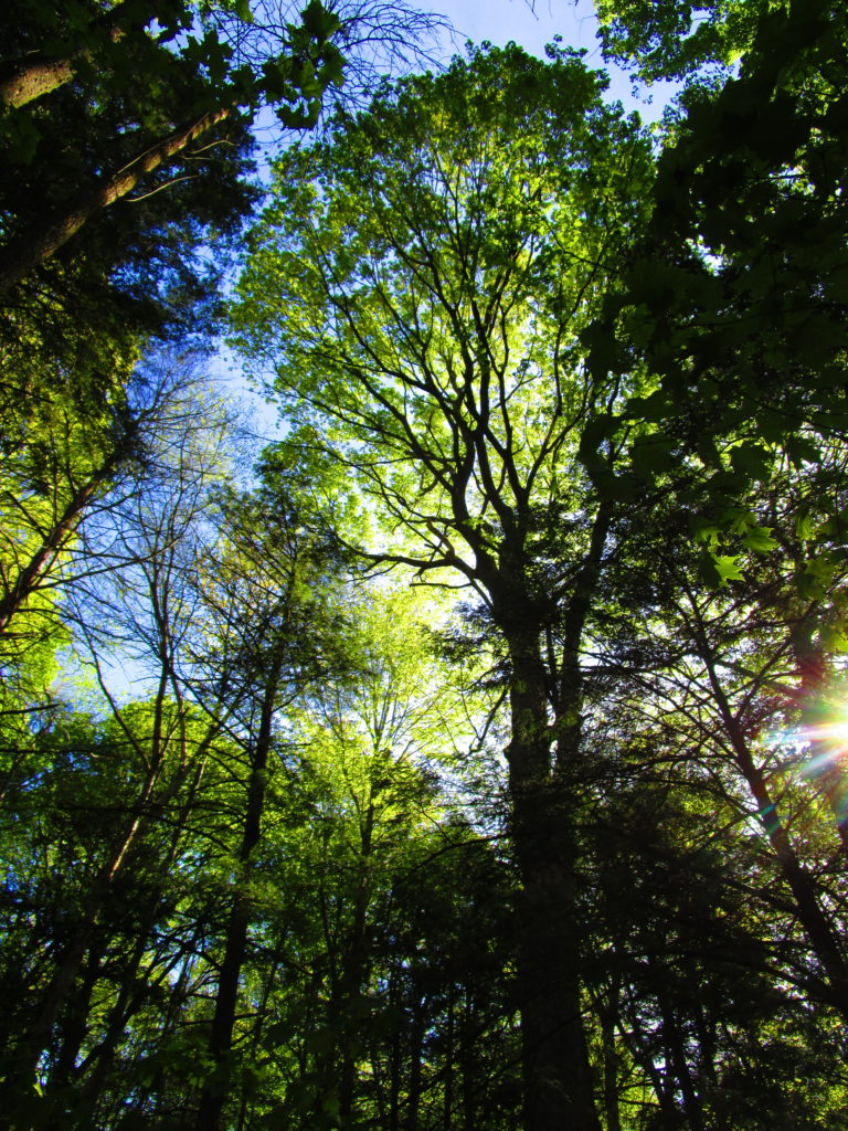 The sun glints through the towering canopy of the Manotick Drumlin Forest.