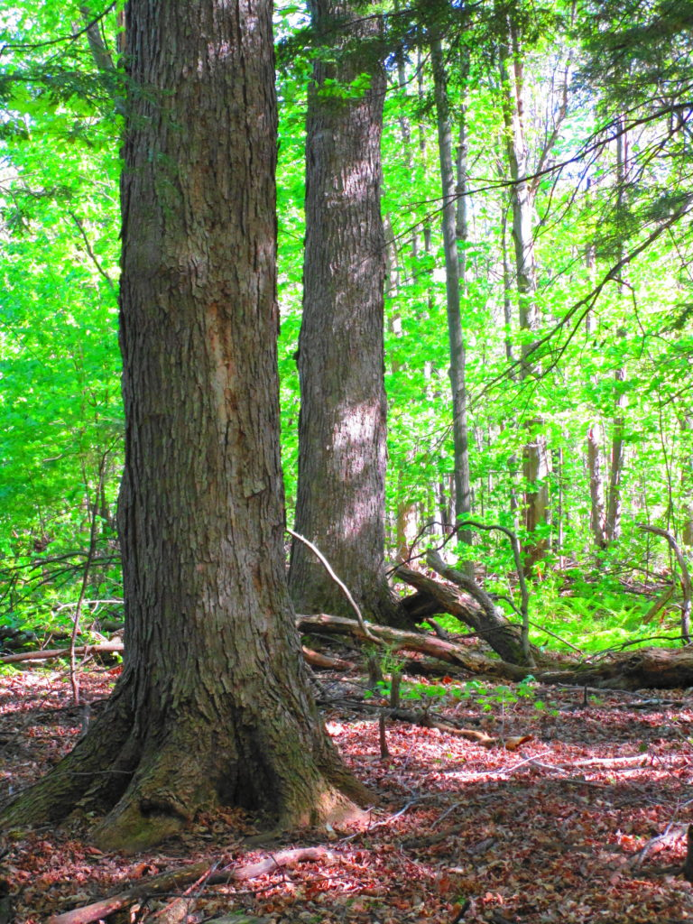 Two large maple trees rise like pillars from the forest floor.