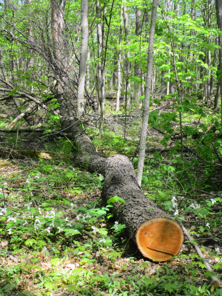 A mature black cherry tree lies on the forest floor where it has been cut down and partially hauled away.
