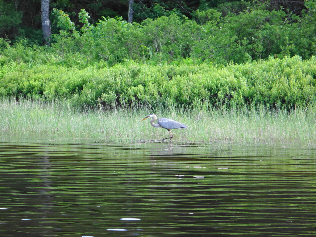 A great blue heron stalks along the shoreline at Lac a la Tortue.