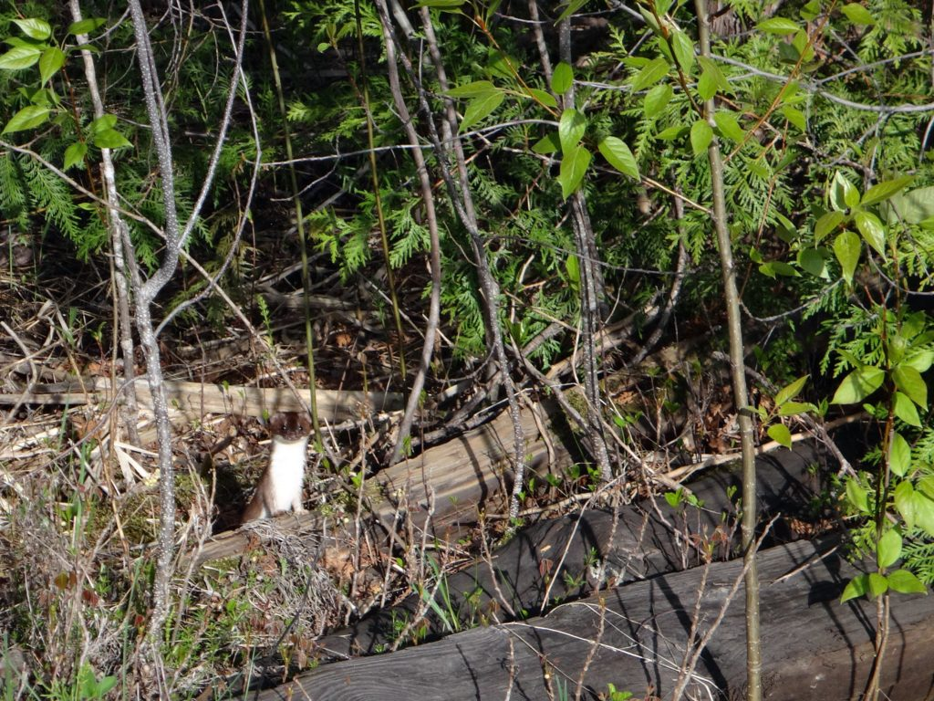 An ermine peers out from some brush in the Upper Poole Creek wetland.