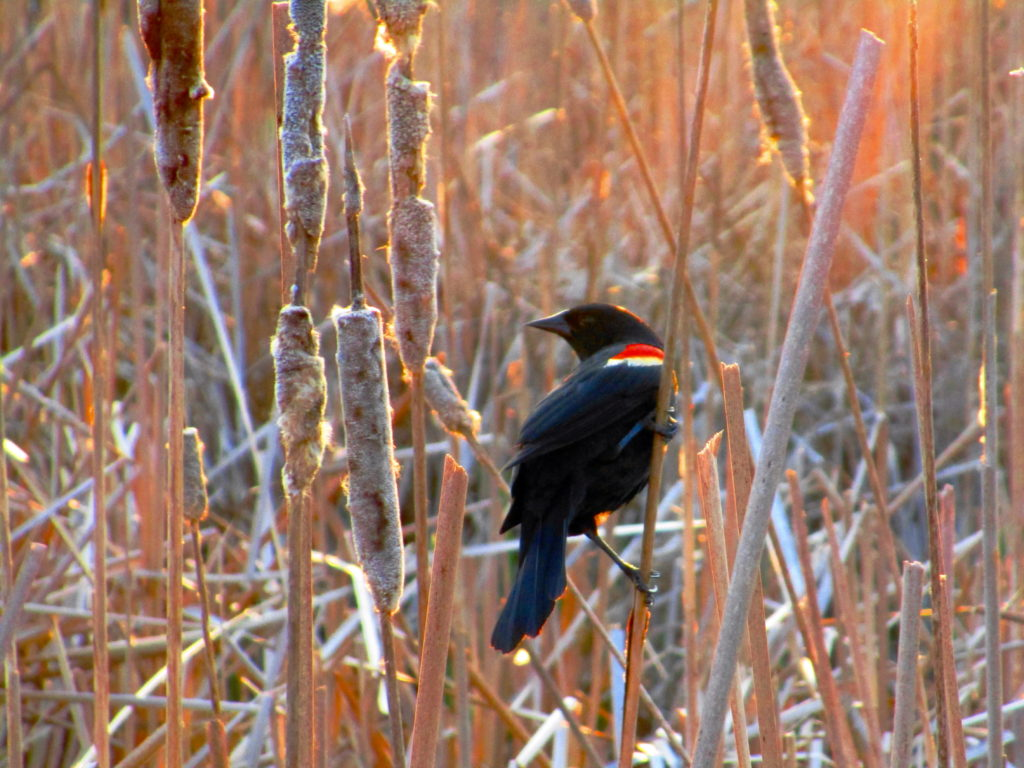 A male red-winged blackbird clings to a cattail in the Dows Lake marsh.