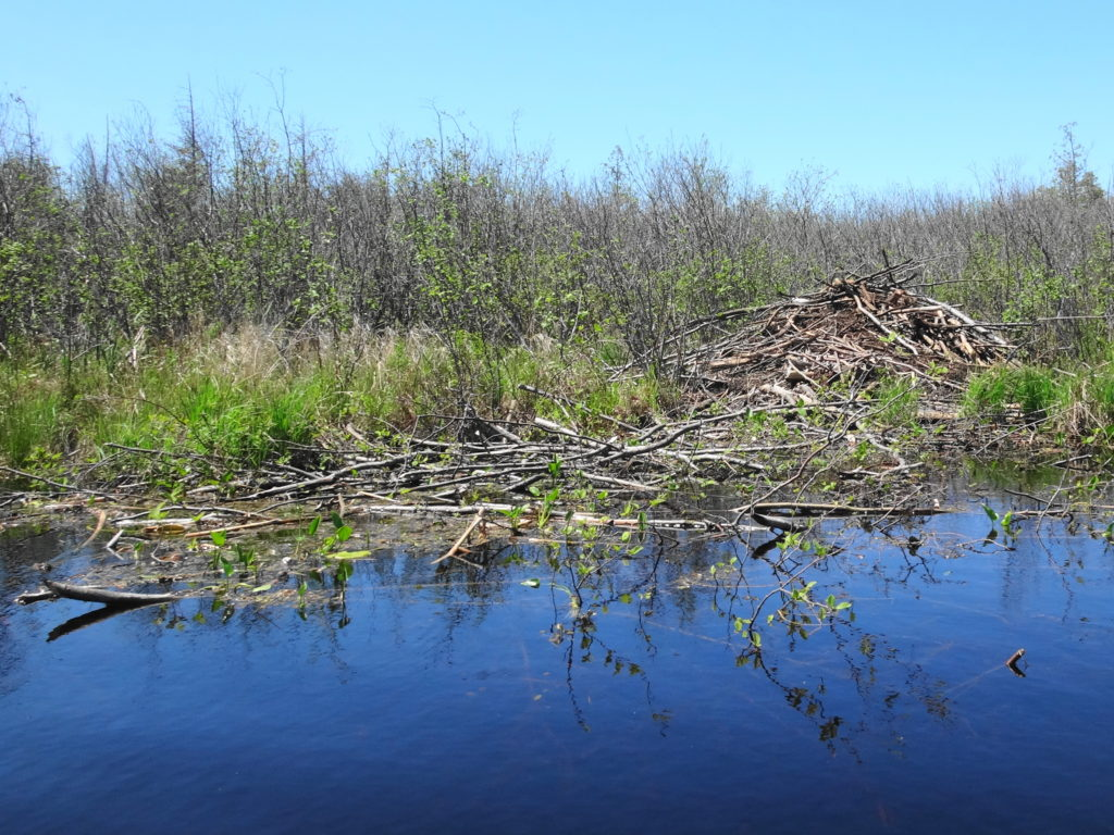 A beaver lodge and food pile sit at the edge of thicket swamp.