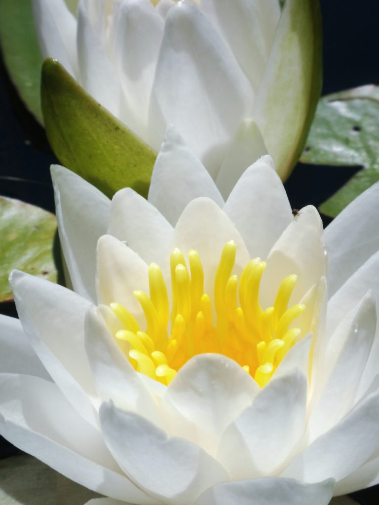A close-up photograph of a white water lily.