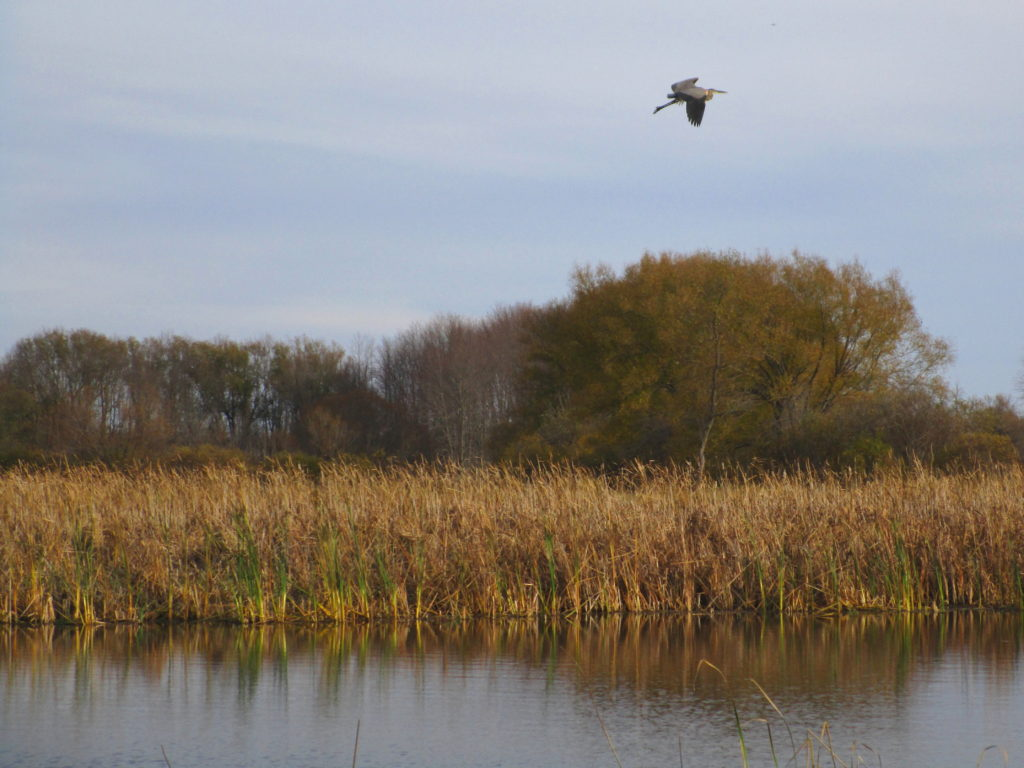 A great blue heron flies over a marsh.