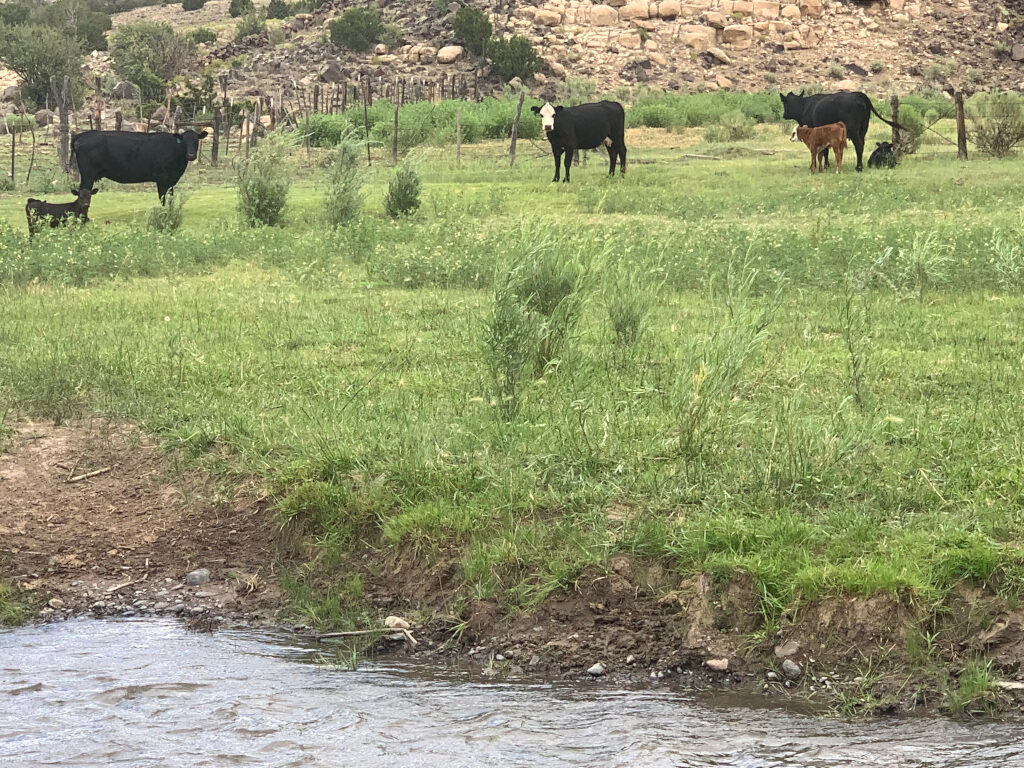 Cattle grazing long the Little Colorado River on July 23, 2019, on Arizona State Land for leased for grazing.