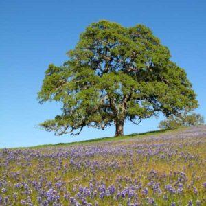 Oak_tree-x