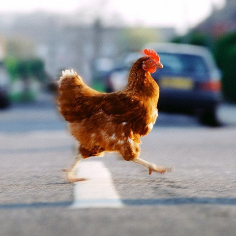 Chicken Crossing the Road --- Image by © Corbis