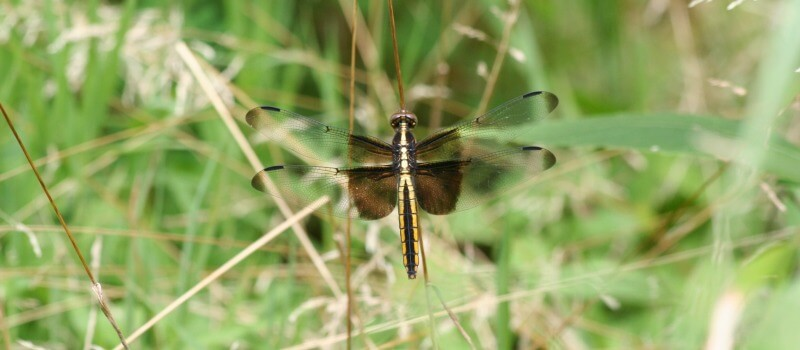 closeup photo of a brown and yellow dragonfly with brown and clean wings perched on a grass stem