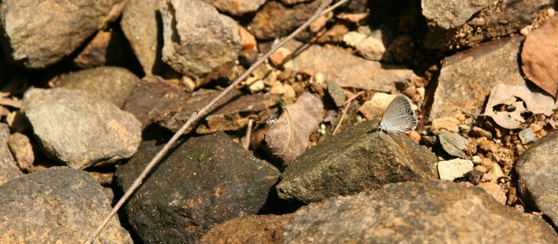 close up of a small gray butterfly perched on rocks on the trail