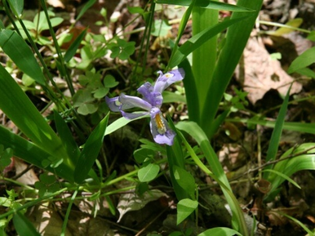 close up photo of a light purple wild iris with its leaves around it