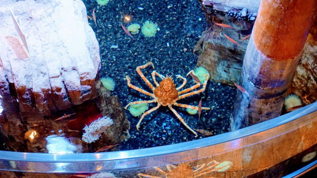 caranguejo aranha gigante do aquário de Dubai