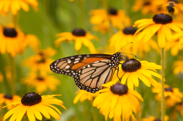 Art Today 06.27.17: Butterfly near Green Bay, WI by Master Photographer Greg Tucker