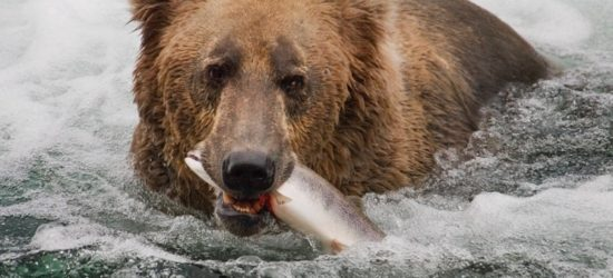 Bear with dinner by Greg Tucker