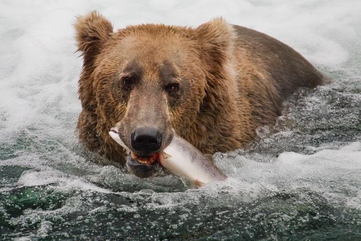 Bear with dinner by Greg Tucker