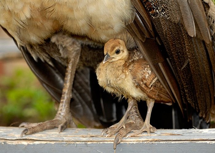 REVIEW of a Peacock Chick posing for Fine Art Photographer Greg Tucker