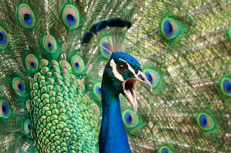 Review: Peacock calling (loudly) for potential mate – photograph by Greg Tucker
