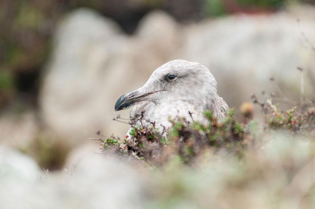 ART TODAY 11.11.17 California Wildlife – A nesting Sea Gull in Monterey Bay posing for Greg Tucker