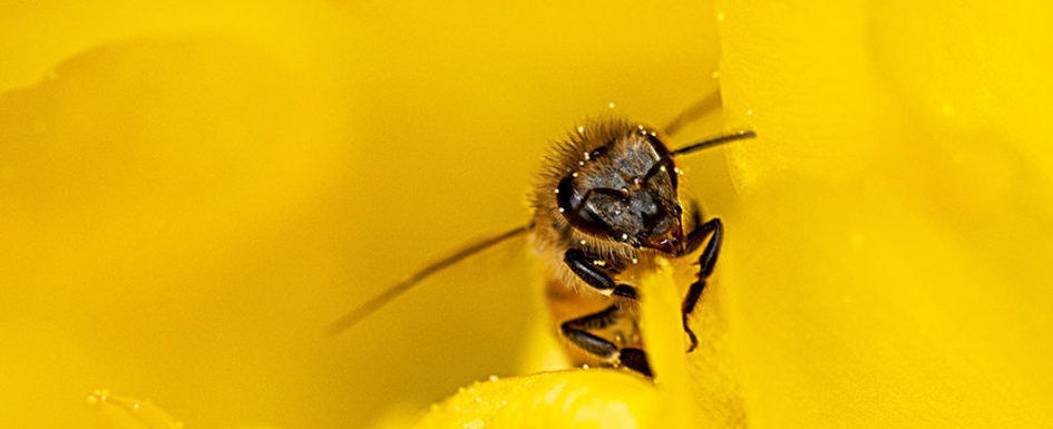 Pollinating bee in cactus flower, a Greg Tucker photo