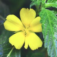 Plant Journey with Damiana